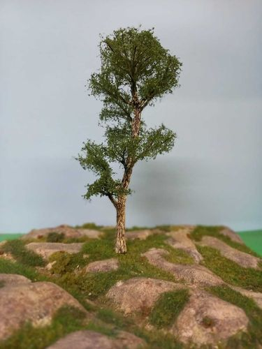 Blak european poplar tree cm 22