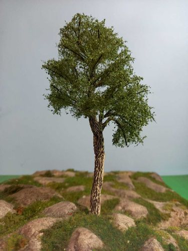 Blak european poplar tree cm 18