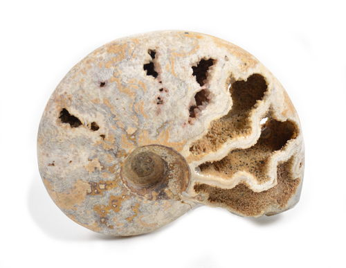 Ammonite Naturale. Soprammobile, Idea Regalo